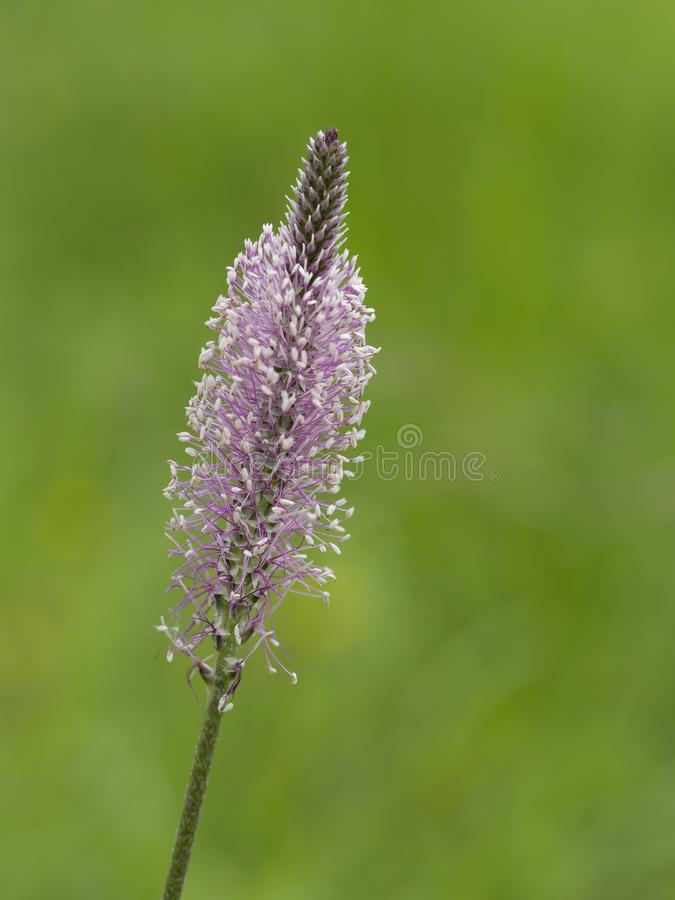 Fleur de plantain blanchi contre le fond naturel defocussed et trouble Media de Plantago photos stock