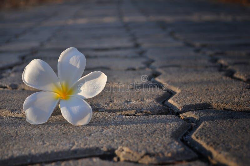 Fleur de Pluemeria sur la brique images stock