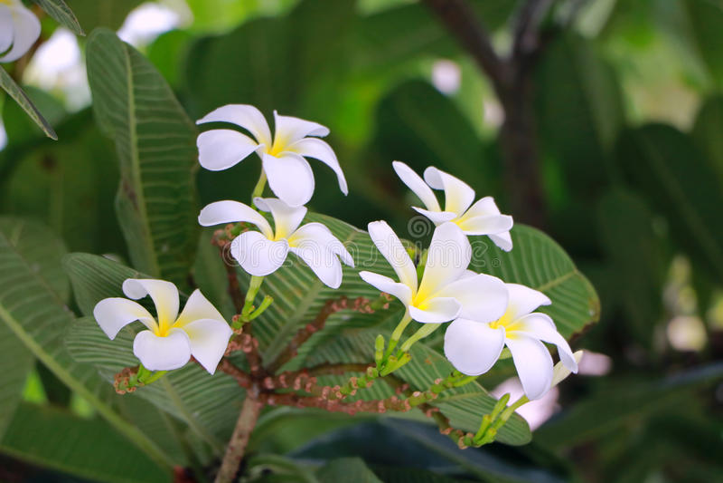 Fleur de Plumaria photographie stock
