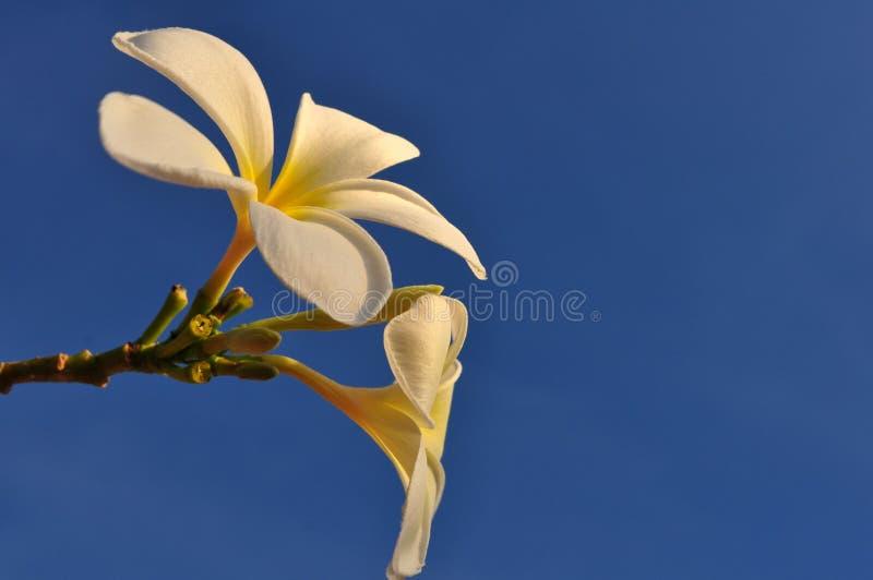 Fleur de Plumeria avec le ciel bleu image libre de droits