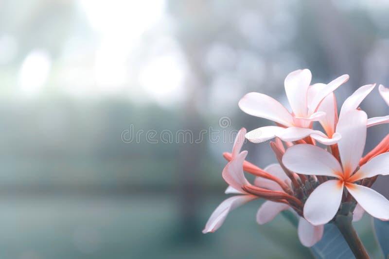 Fleur de Plumeria de Beautyful sur le fond de nature image libre de droits