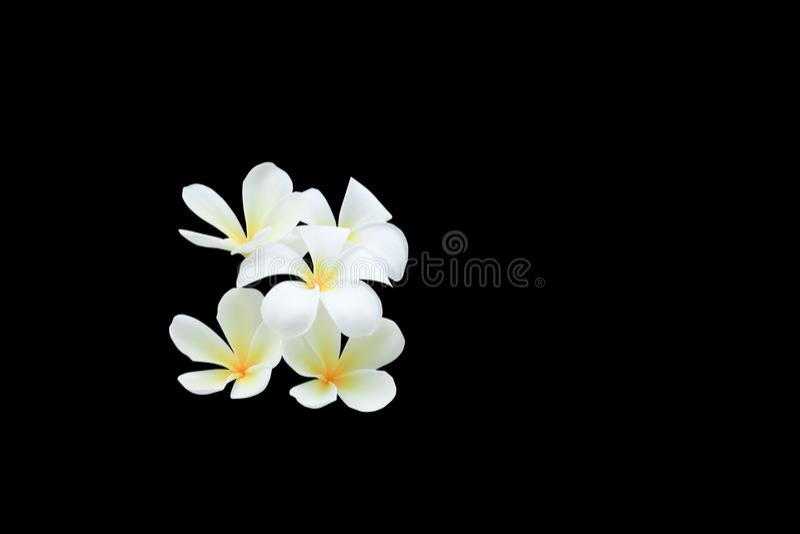 Fleur de Plumeria d'isolement sur des pocynaceae communs noirs de nom de chemin de fond et de coupure, Frangipani, arbre de pagod images libres de droits