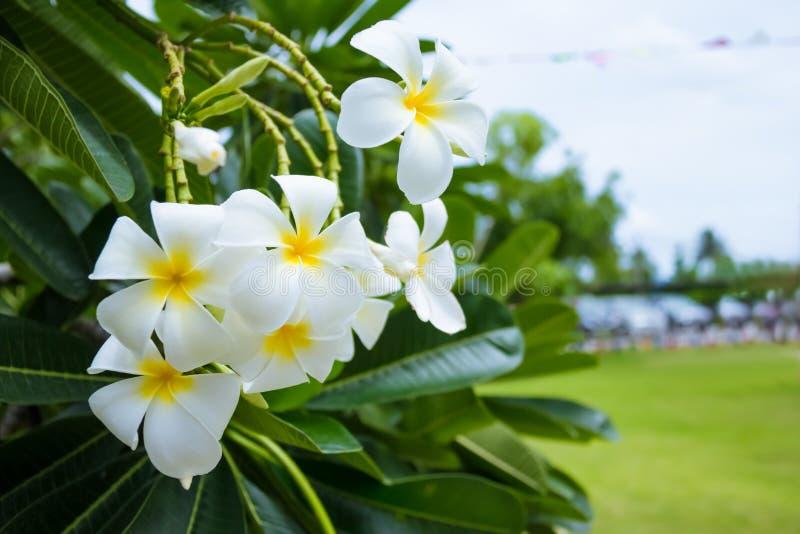 Fleur de Plumeria ou de Frangipani photos stock