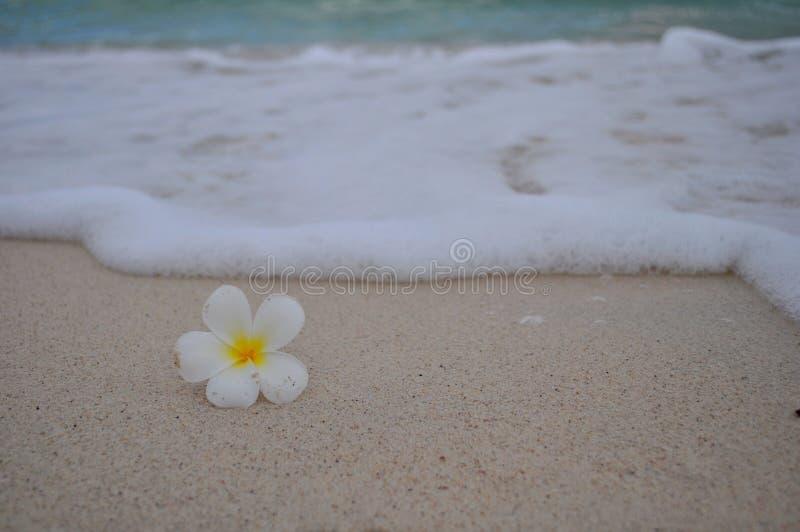 Fleur de Plumeria sur la plage image stock