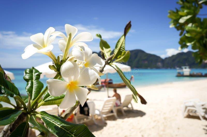 Fleur de Plumeria sur le fond tropical de plage photos stock