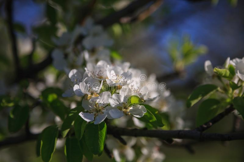 Fleur de poire photographie stock
