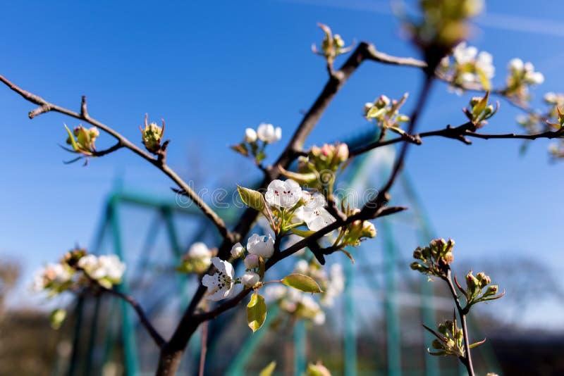 Fleur de poire photo stock