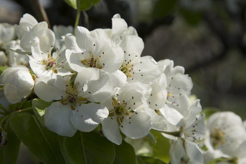 Fleur de poirier photographie stock