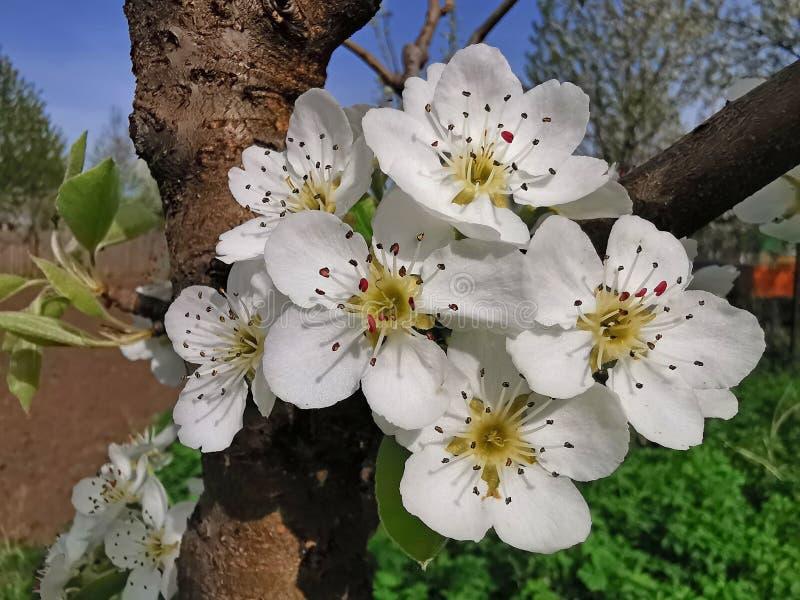 Fleur de poirier en fleurs photographie stock libre de droits
