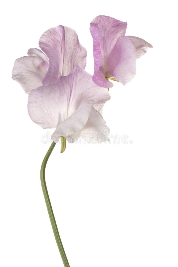 Fleur de pois doux d'isolement images stock