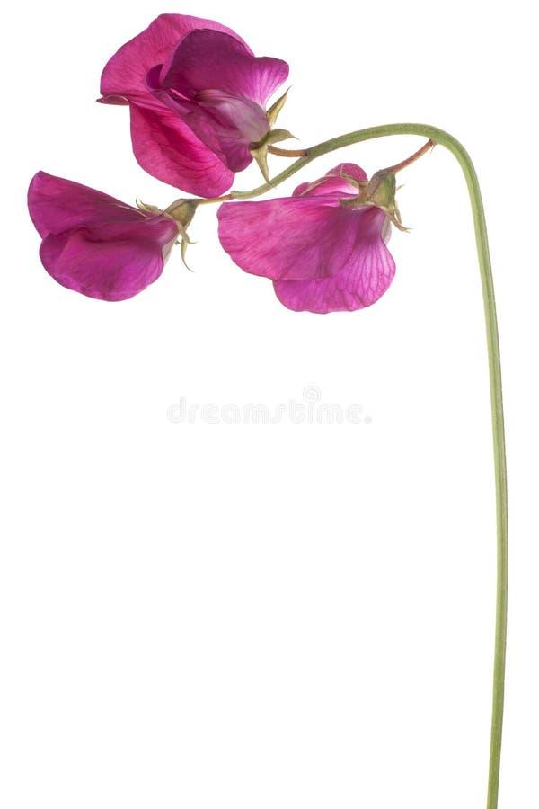 Fleur de pois doux d'isolement photo libre de droits