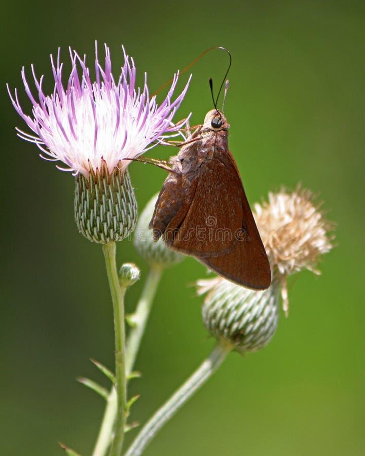 Fleur de pollination de chardon de papillon du sud de Skipperling images libres de droits