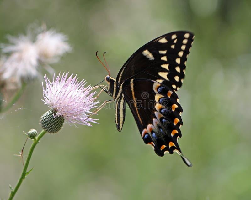 Fleur de pollination de chardon de papillon de machaon photographie stock libre de droits