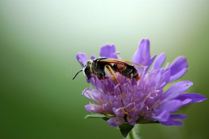 Fleur de pollination d'abeille image libre de droits