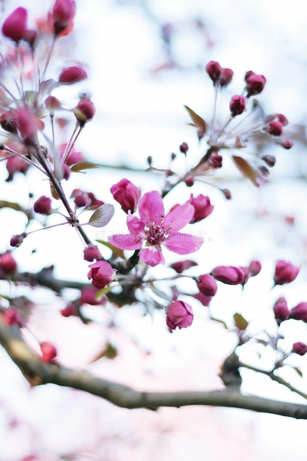 Fleur de pomme sauvage photographie stock