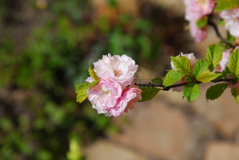 fleur de pomme, silvestris de malus image stock