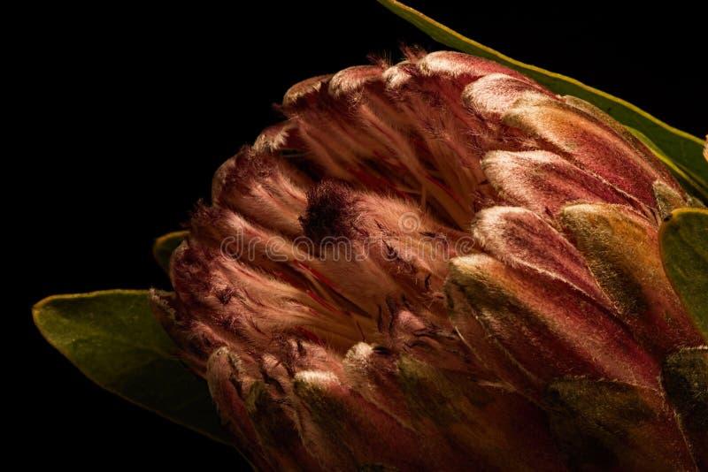 Fleur de Portea sur le noir images libres de droits