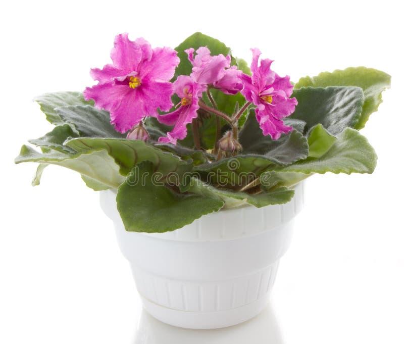 Fleur de Poted photographie stock libre de droits