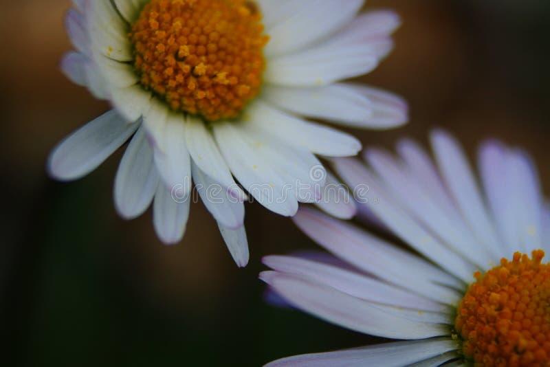 Fleur de premier étage de la tache méditerranéenne dans le salentina de péninsule avec de longues expositions au soleil direct photo libre de droits