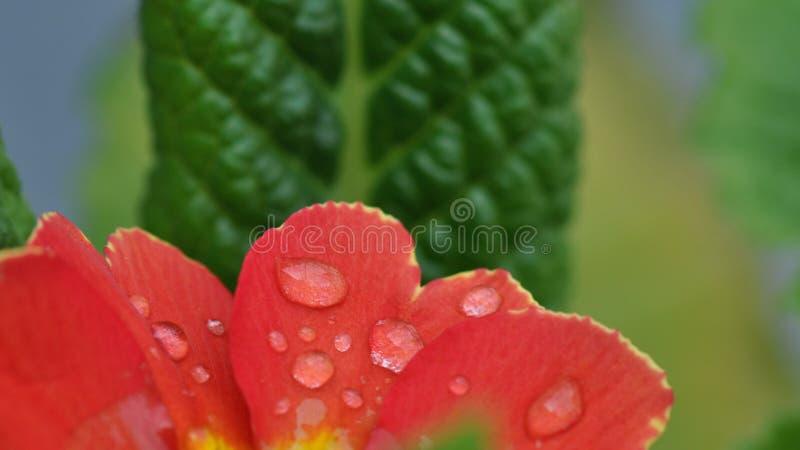 Fleur de primevère avec des baisses de l'eau image libre de droits