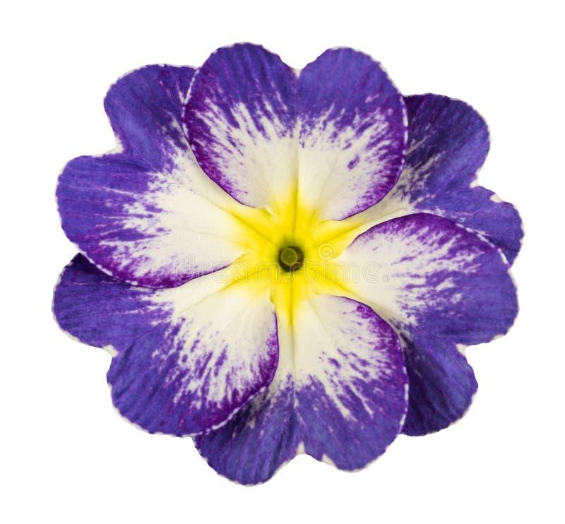 Fleur de primev?re photos libres de droits