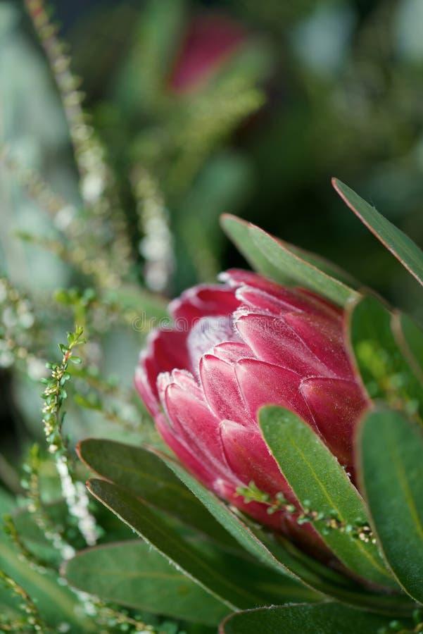 Fleur de Protea photo libre de droits
