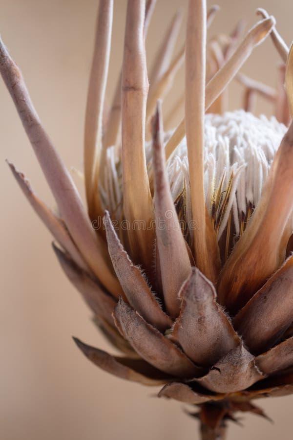 Fleur de Protea photographie stock libre de droits