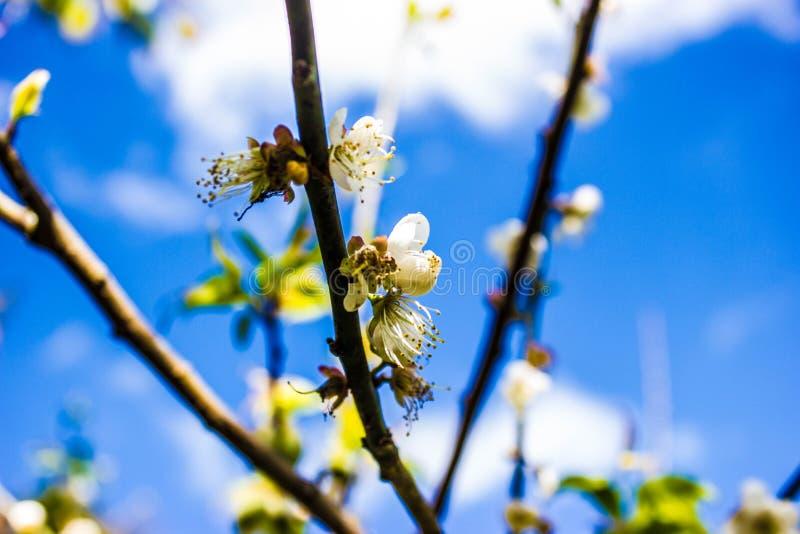 Fleur de prune chez Doi Ang Khang Chiang Mai, Thaïlande photographie stock libre de droits
