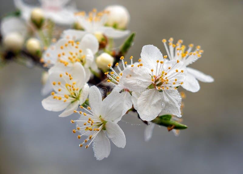 Fleur de prunellier - spinosa de Prunus couvert de perles minuscules de l'eau photographie stock