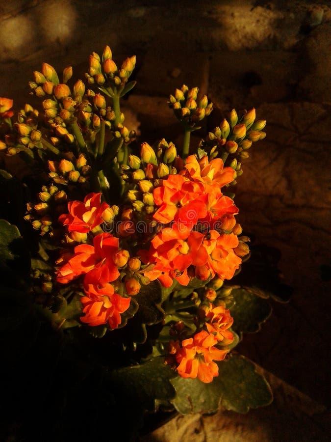 fleur de référence de kalanchoe photos stock