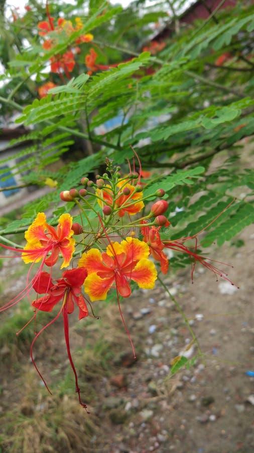 Fleur de Radhachura photo libre de droits
