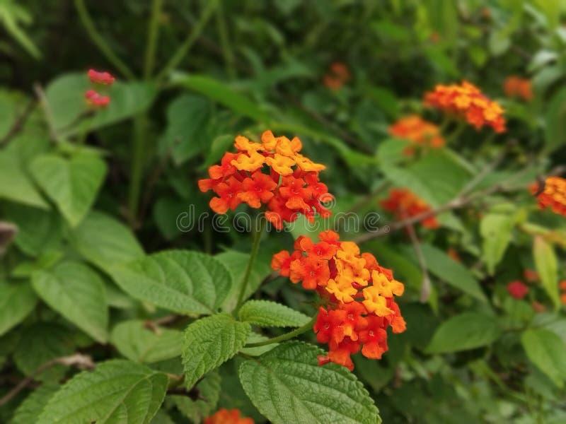Fleur de Redorange photo stock