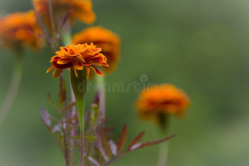 Fleur de Redorange photos stock