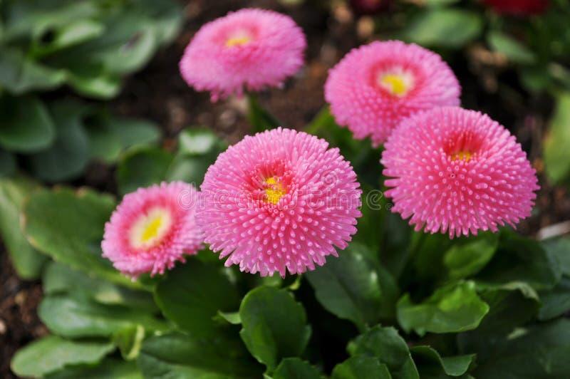 Fleur de ressort au Japon photographie stock