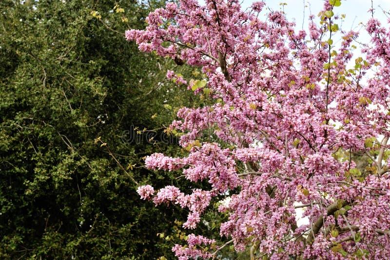 Fleur de ressort d'arbre de judas image libre de droits