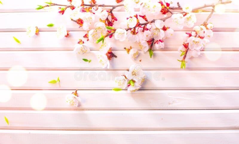 Fleur de ressort de P?ques sur le fond en bois blanc de planche Fleurs d'abricot de P?ques sur la conception en bois d'art de fro photos libres de droits