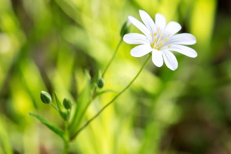 Fleur de ressort sur un fond de verdure, la fraîcheur du matin, plan rapproché photographie stock libre de droits