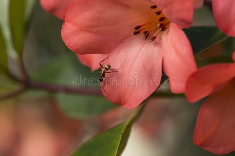 Fleur de rhododendron avec la fleur rouge de macro écarlate en gros plan de fourmi images libres de droits