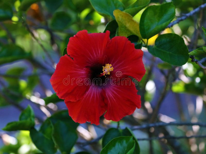 Fleur de rosa-sinensis de belle ketmie rouge de Shoeblackplant jolie photo stock