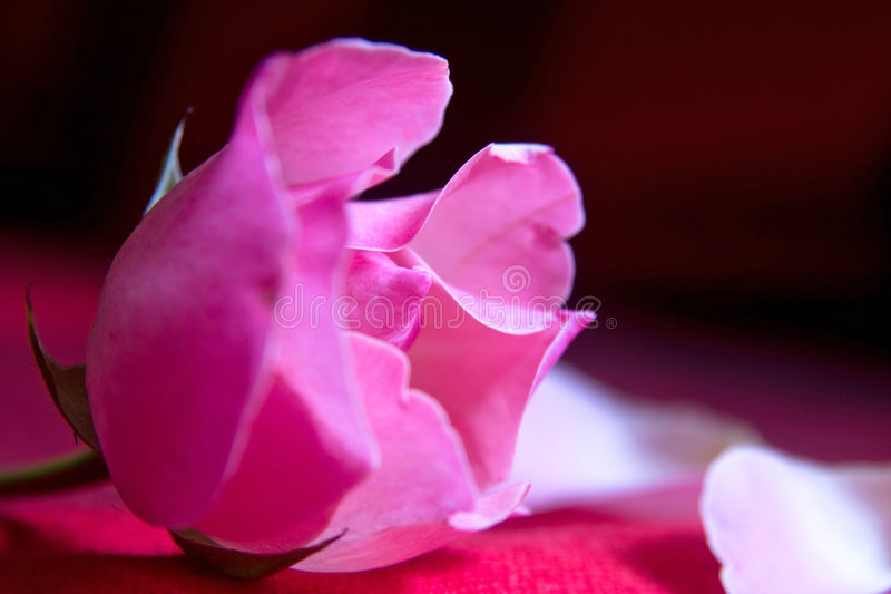 Fleur de Rose photos libres de droits