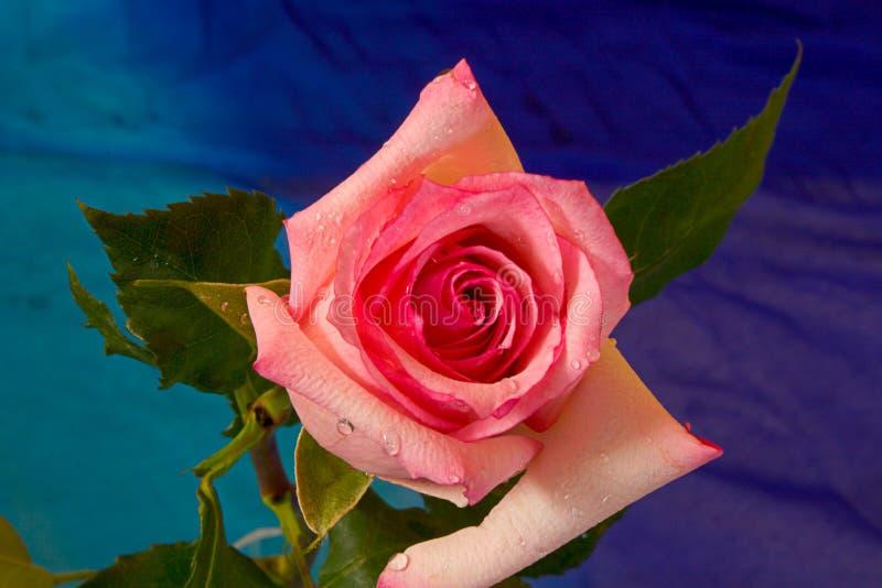 Download Fleur de Rose photo stock. Image du mensonge, details, baisses - 81754