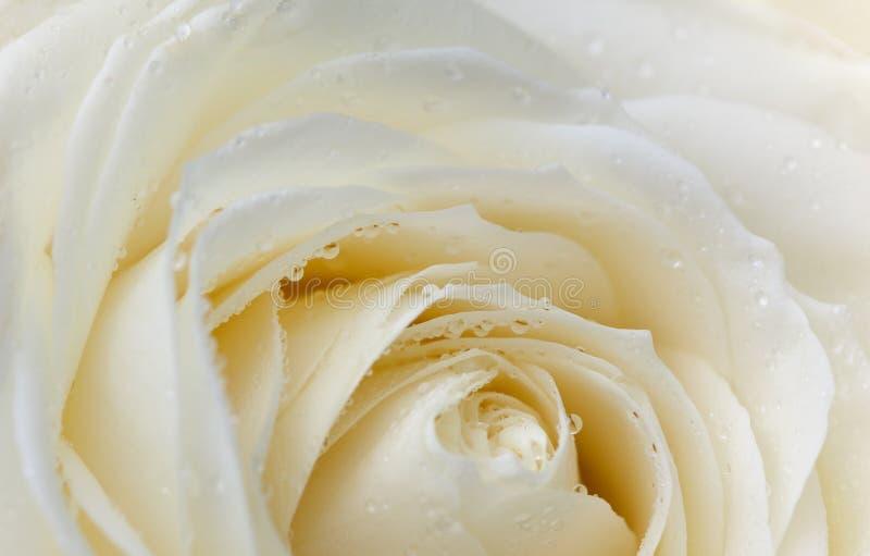 Fleur de Rose avec des baisses de rosée image stock