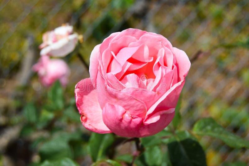 Fleur de rose de rose avec les feuilles vertes photos libres de droits