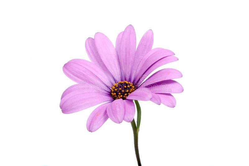 fleur de rose de bel osteospermum pourpre ou de marguerite africaine image libre de droits