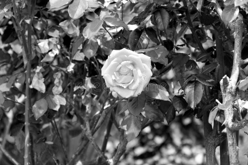 Fleur de rose de blanc avec des pétales - fleur de floraison de jardin, noire et blanche images libres de droits
