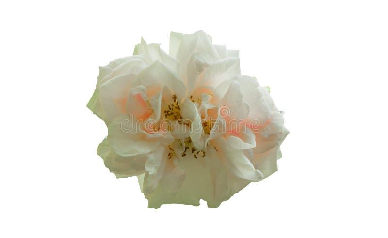 Fleur de rose de blanc d'isolement sur le fond blanc photos libres de droits