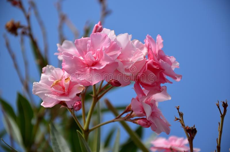 Fleur de Rose d'oléandre en fleur d'été images stock