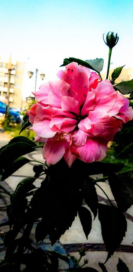 Fleur de rose de beauté la meilleure au monde photographie stock libre de droits