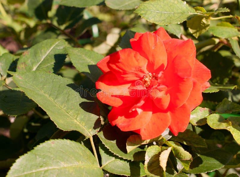 Download Fleur De Rose De Rouge Sous La Lumière Du Soleil Image stock - Image du macro, fleur: 77157073