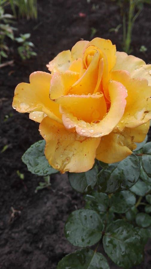 Fleur de Rose en rosée photo stock